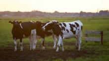 Tres vacas nunha pradeira.