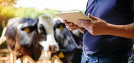 Un home usando unha tablet nunha explotación gandeira.